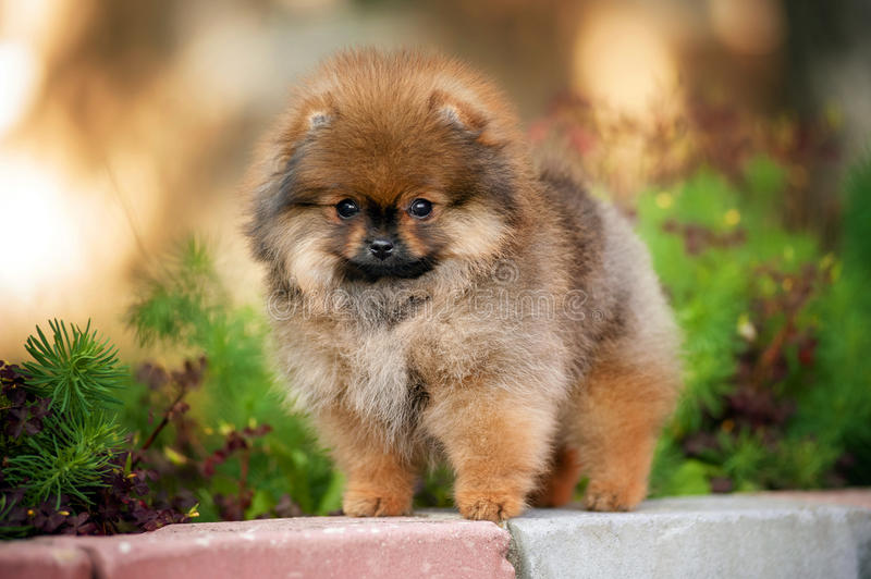 Spitz puppy looking at camera. Young pomeranian Spitz puppy looking at camera stock photography