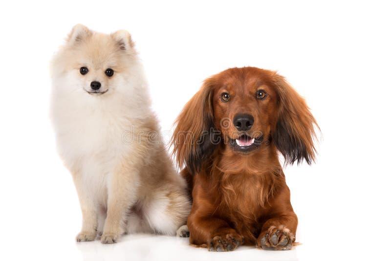 Spitz- und Dachshundhunde Pomeranian auf Weiß lizenzfreie stockfotografie