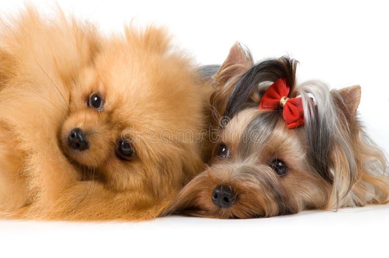 Spitz und Terrier im Studio stockfoto