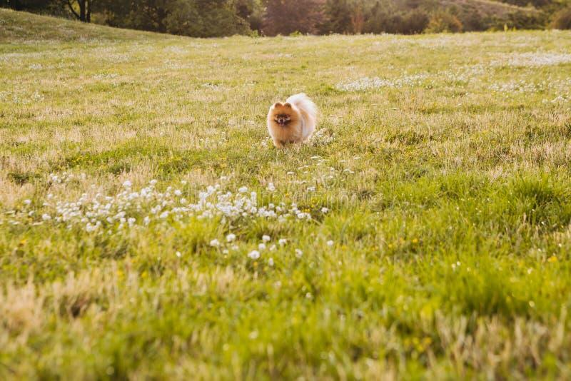 Spitz van hondpomeranian gelukkig in aard die op gebied lopen royalty-vrije stock afbeelding