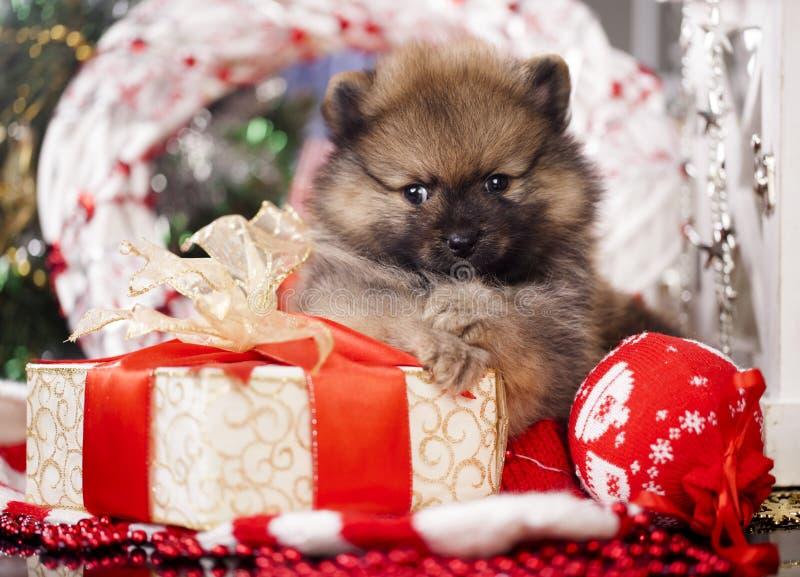 Spitz van Kerstmispomeranian puppy royalty-vrije stock afbeeldingen