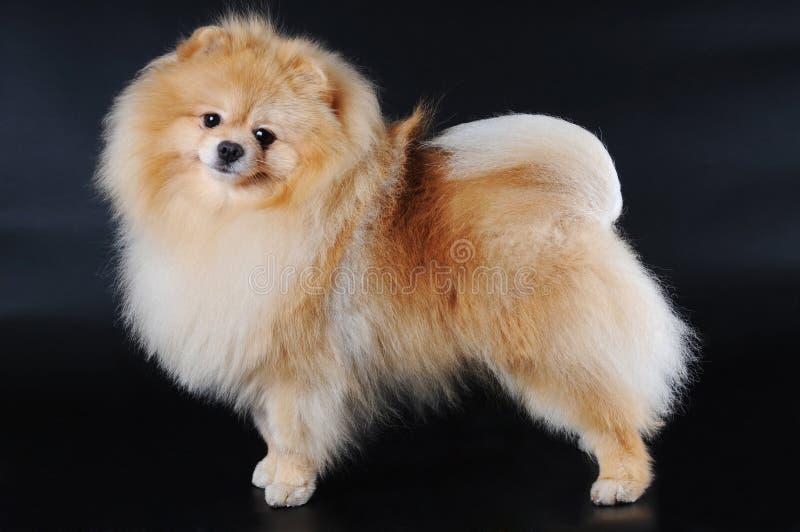 Spitz van Pomeranian op zwarte achtergrond royalty-vrije stock fotografie