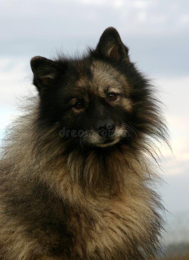 Spitz wolf stock afbeeldingen