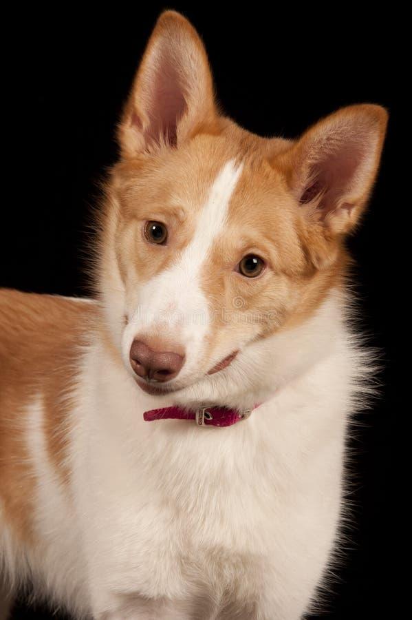 spitzdog στοκ εικόνα