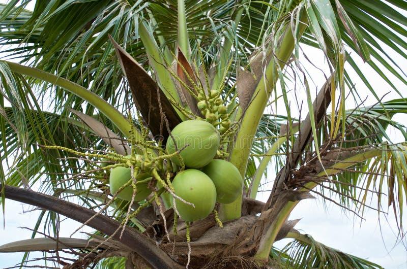 Spitze der Kokosnusspalme mit einem Bündel grünen Kokosnüssen stockfotos