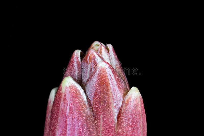Spitze des Sprösslings des Lilium-Meister-Diamanten stockbilder