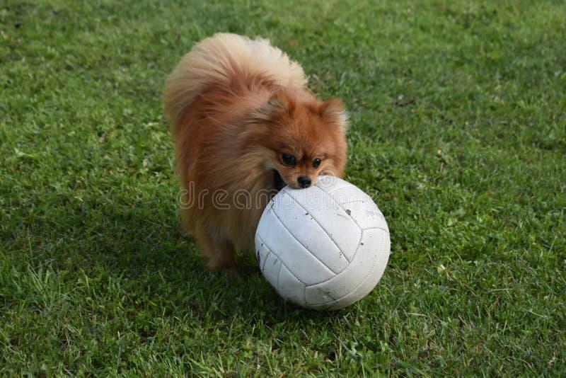 Spitzen för den röda dvärgen på grön gräsmatta spelar fotboll royaltyfria foton
