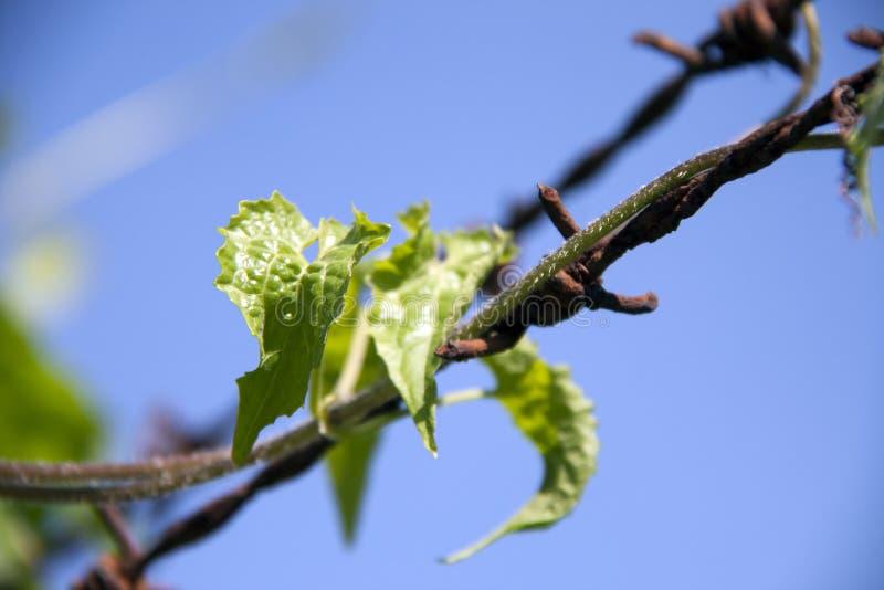 Spitzenblatt der Efeukürbiskriechpflanze mit dem Roststacheldraht kompatibel tadellos auf blauem Himmel des Hintergrundes stockfotos