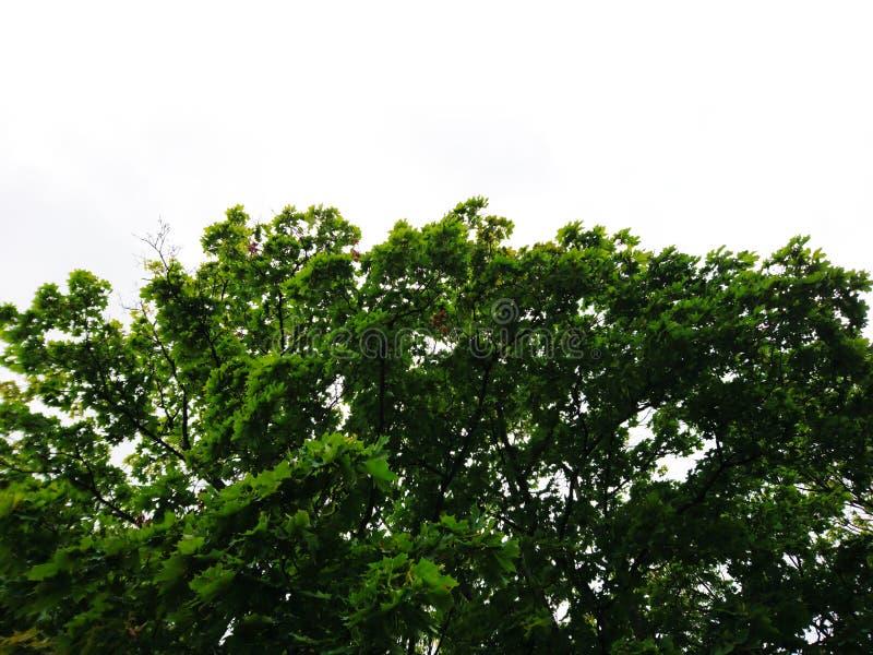 Spitzenlinie Ansicht der grünen Bäume auf weißem Hintergrund stockfotos