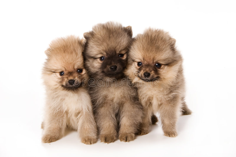 Spitzhund lizenzfreie stockfotografie