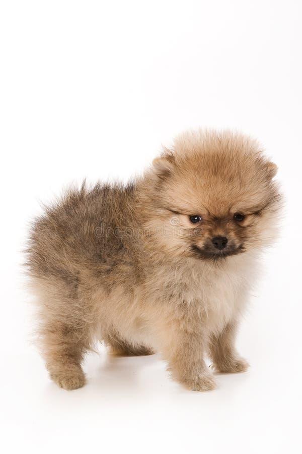 Spitzhund stockfotos