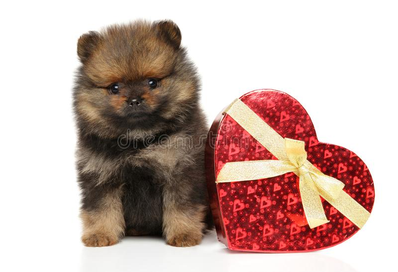 Spitzhundvalp med röd hjärta på vit bakgrund royaltyfria foton