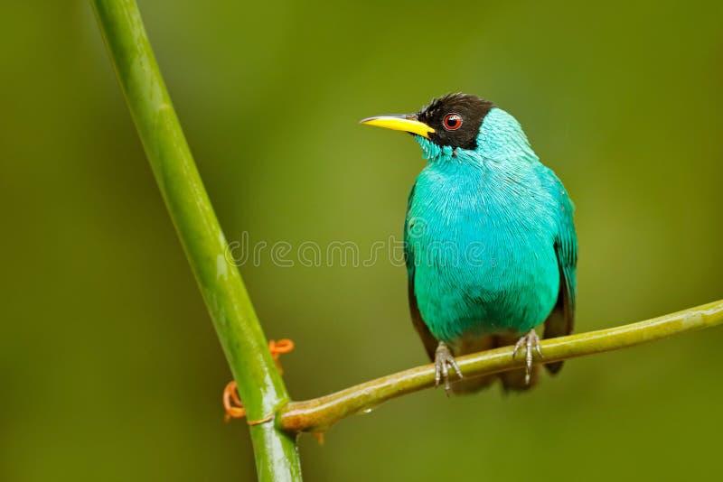 Spiza vert de Honeycreeper, de Chlorophanes, forme verte et bleue Costa Rica de malachite tropicale exotique d'oiseau Tanager de  photo libre de droits