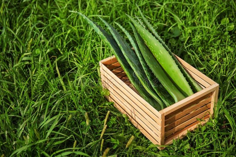 Spjällådan med aloe vera lämnar på grönt gräs arkivfoto