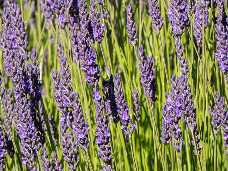 Spjut av lavendel som växer mot grönt materiel i sommar arkivfoton