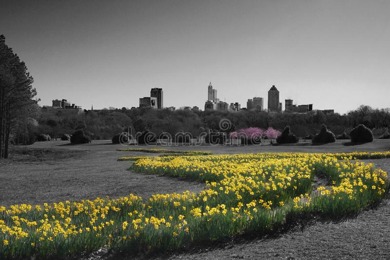 A Splash of Spring Color in the Park. Colorized black and white picture highlighting yellow daffodils and pink redbud trees. Skyline of Raleigh, North Carolina royalty free stock photo