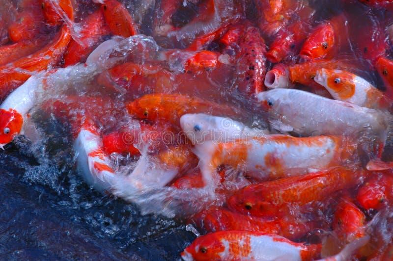 Splashing Coi Free Stock Image