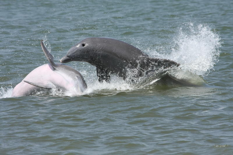 Download Splashing dolphins stock image. Image of gulf, blue, dolphins - 11032279