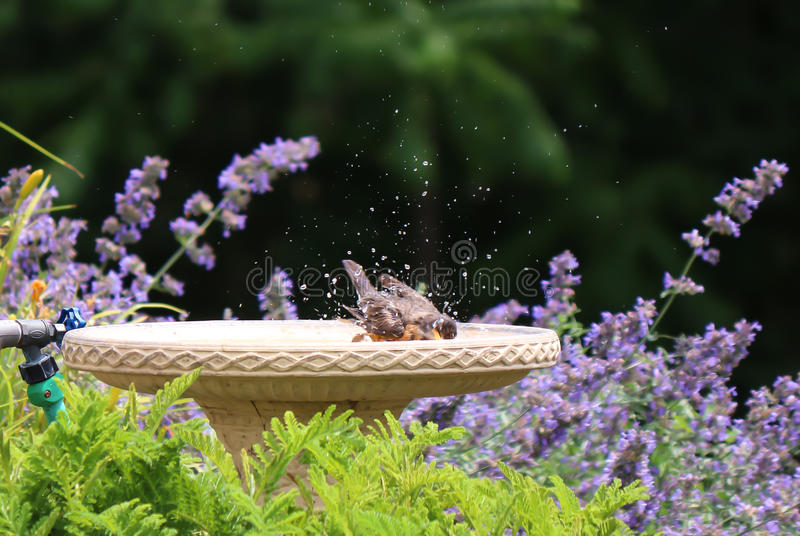 Splashing Robin stock image
