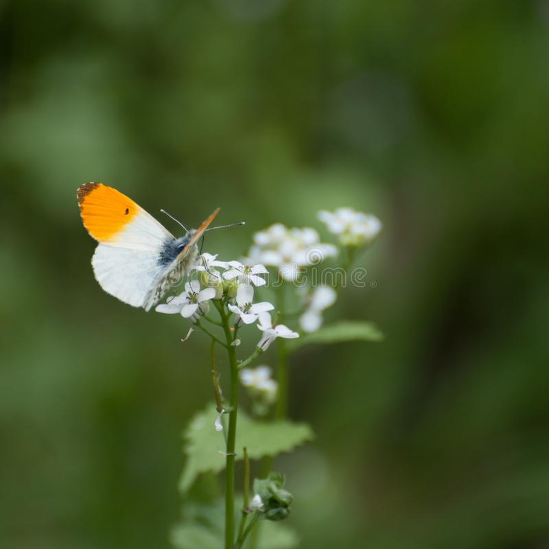 Spledid orange and white butterfly, Anthocharis cardamines. An orange and white butterfly Anthocharis cardamines resting on small flowers stock images
