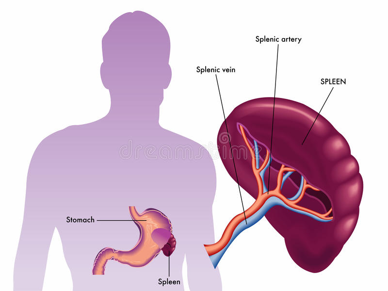 spleen ilustração stock
