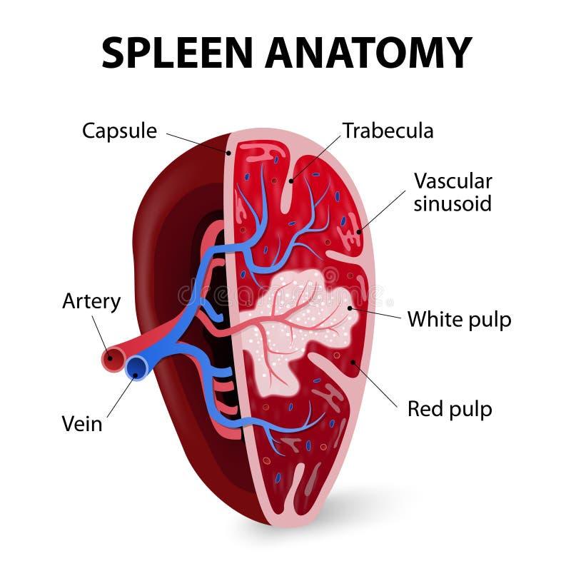 spleen De seção transversal ilustração stock