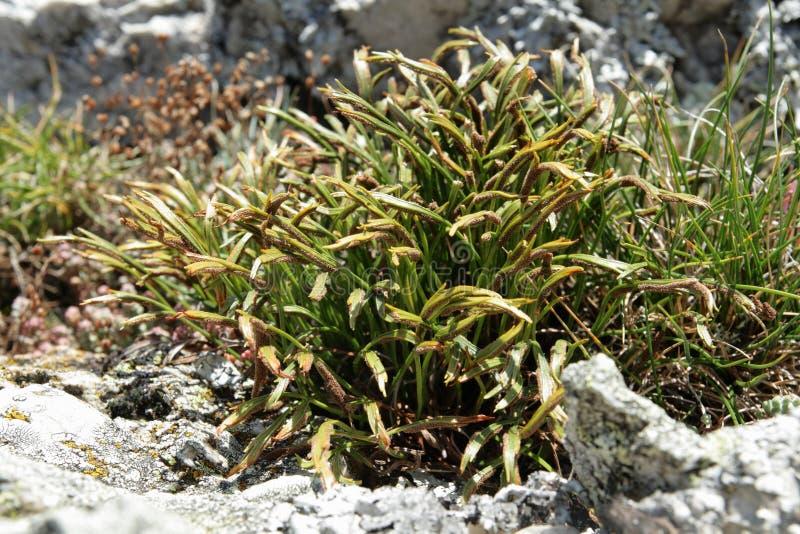 spleenwort septentrional o spleenwort bifurcado fotografía de archivo