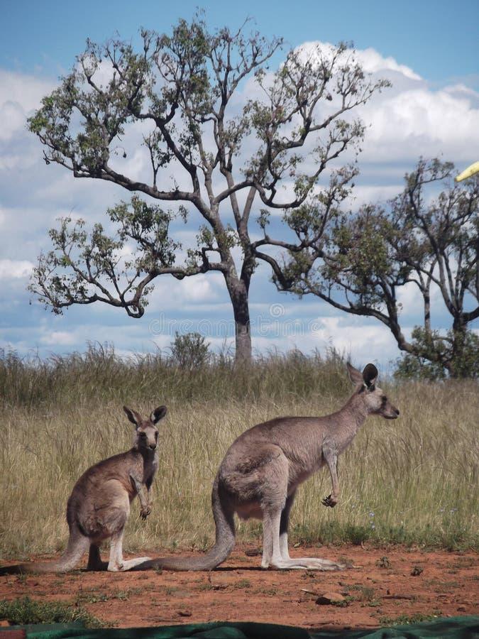 Spleetseconde van Kangoeroes wordt geschoten die stock foto's