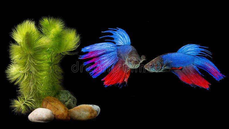 Download Splendens De Betta - Peixes De Combate Siamese Foto de Stock - Imagem de preto, freshwater: 107526926