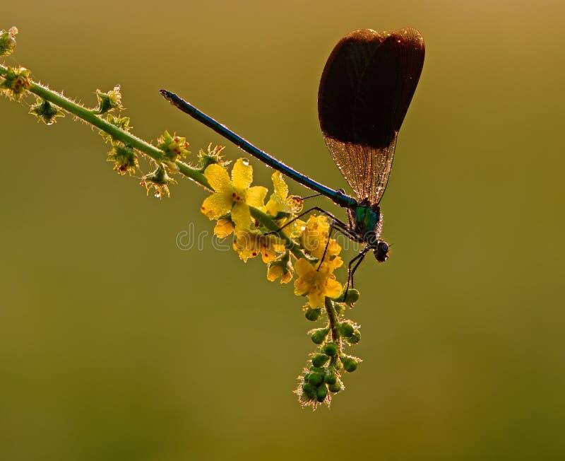 Splendens di Calopteryx su un fiore giallo immagine stock