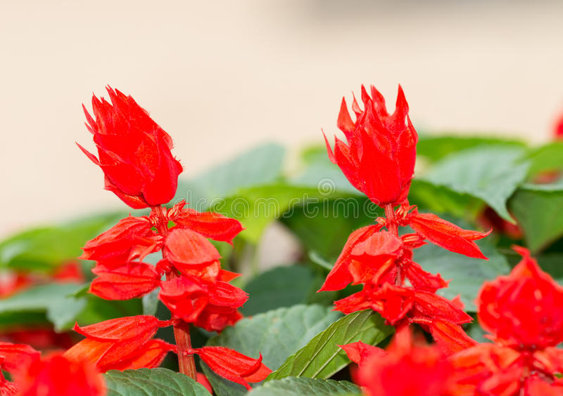 Splendens do salvia de Ker-gawler fotos de stock