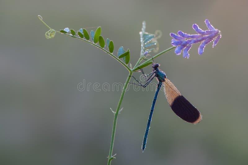 Splendens hermosos de Calopteryx de la libélula en la flor imagen de archivo