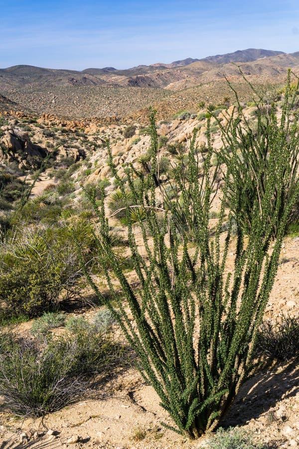 Splendens planta, Joshua Tree National Park, California del Fouquieria del Ocotillo fotos de archivo libres de regalías