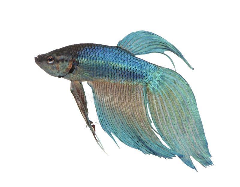 splendens siamois de poissons bleus de combat de betta photographie stock libre de droits