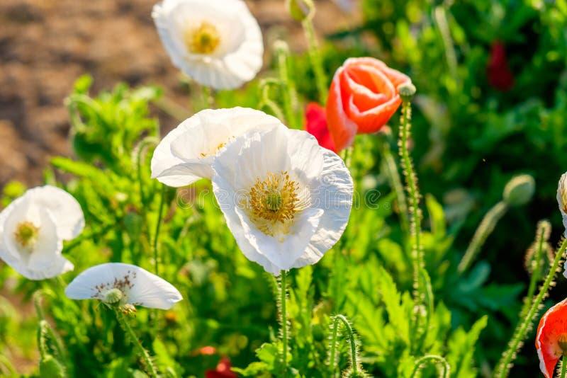 Splendere bianco rosso di luce solare del fiore del papavero immagine stock
