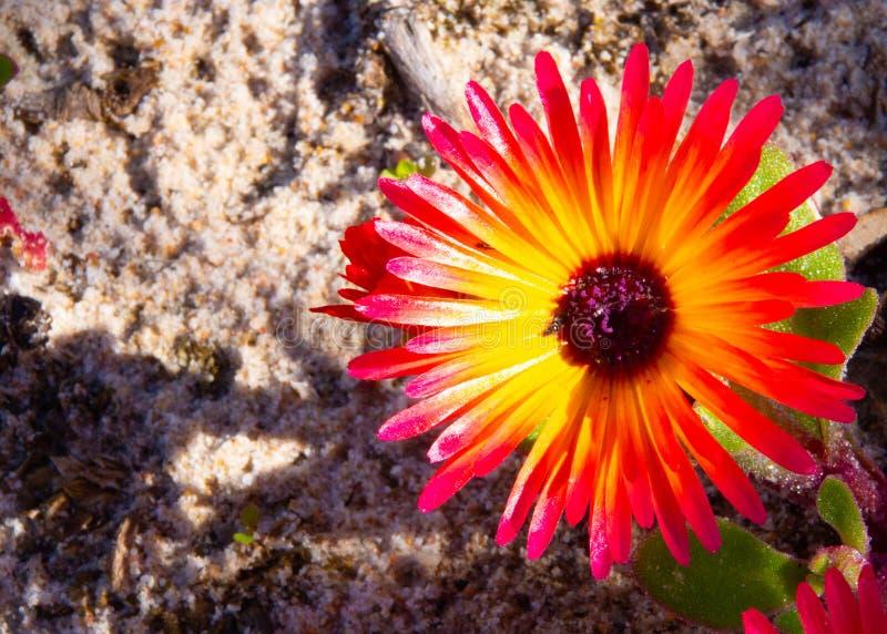 Splendeur sauvage de Portulaca du Cap-Occidental du sud, Afrique du Sud images stock