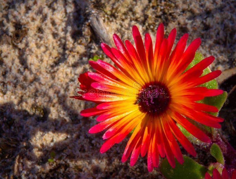 Splendeur sauvage de Portulaca du Cap-Occidental du sud, Afrique du Sud photo libre de droits