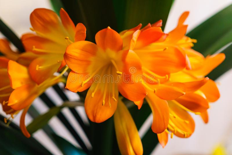 A splendid branch of Clivia blossoming flowers stock image
