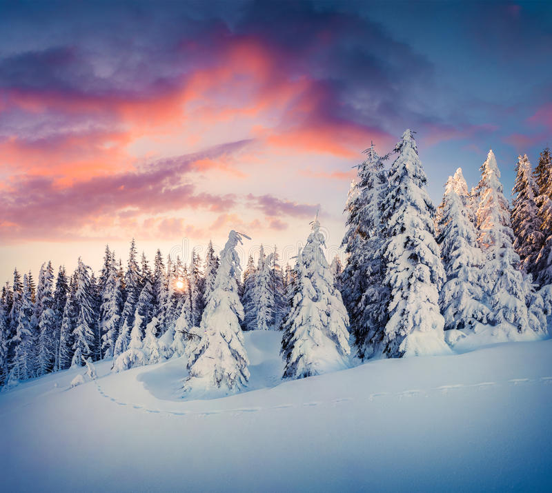 Splendid Christmas scene in the mountain forest royalty free stock photos