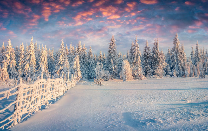 Splendid Christmas scene in the mountain forest at sunny morning royalty free stock photography
