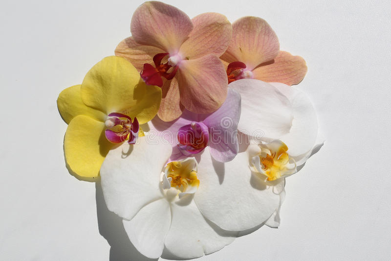 Splendid exotic orchids flower. Splendid fresh exotic tender vivid yellow pink blossoming orchids flowers laying in flower form on white background floral design stock photo