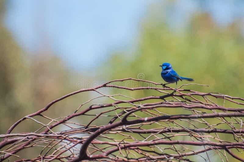Splendid Fairy Blue Wren royalty free stock images