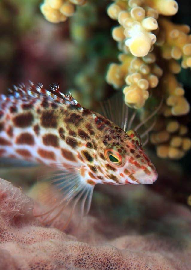 Download Splendid hawkfish stock image. Image of splendid, underwater - 10830953