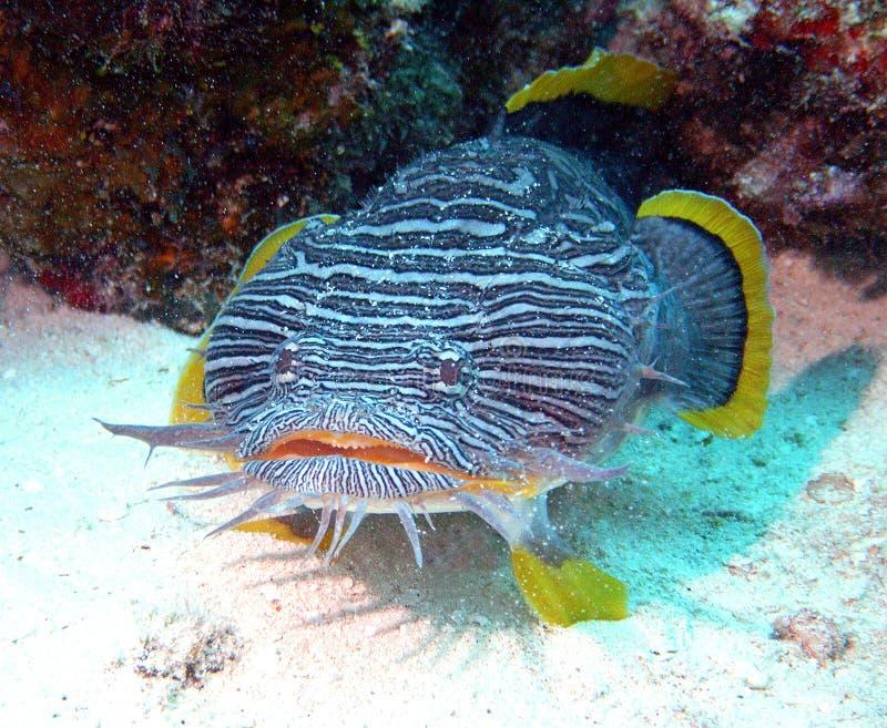 Splendid toadfish royalty free stock image