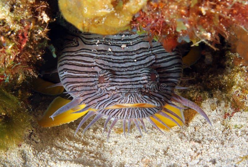 Splendid Toadfish royalty free stock photography