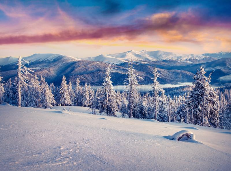 Splendid winter sunrise in Carpathian mountains with snow cowered trees. royalty free stock photography