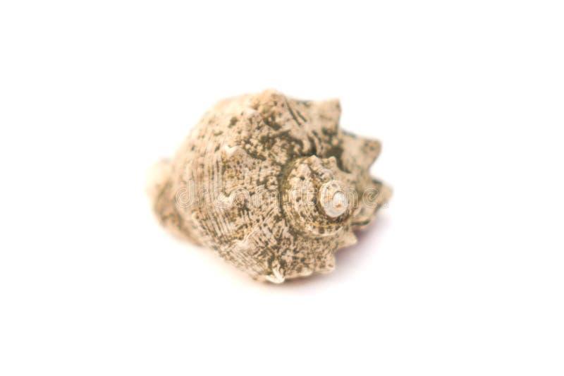 splendida guscio di mare isolato su fondo bianco fotografia stock libera da diritti