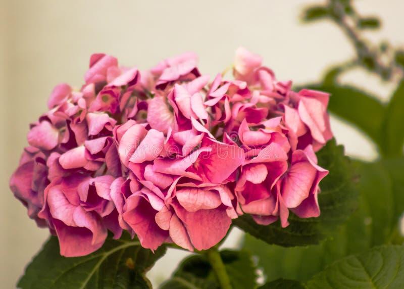 Splendurous ornamental pink hydrangea flower stock photo