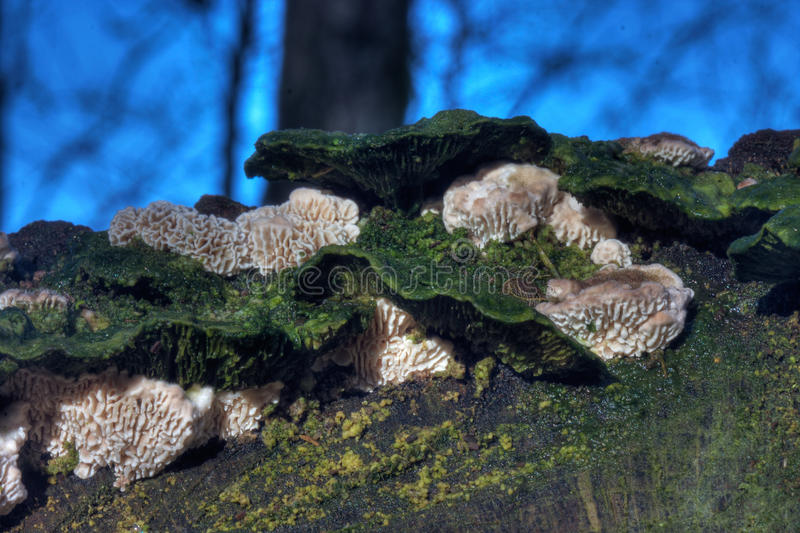 Split Gill (Schizophyllum Commune). Split Gill, (Schizophyllum Commune)and other mushrooms, growing on a rotting treetrunk royalty free stock photography