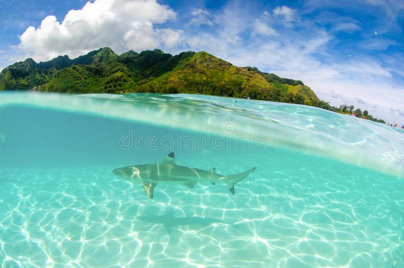 Split photography of a Black tip reef shark in Moorea French Polynesia stock images